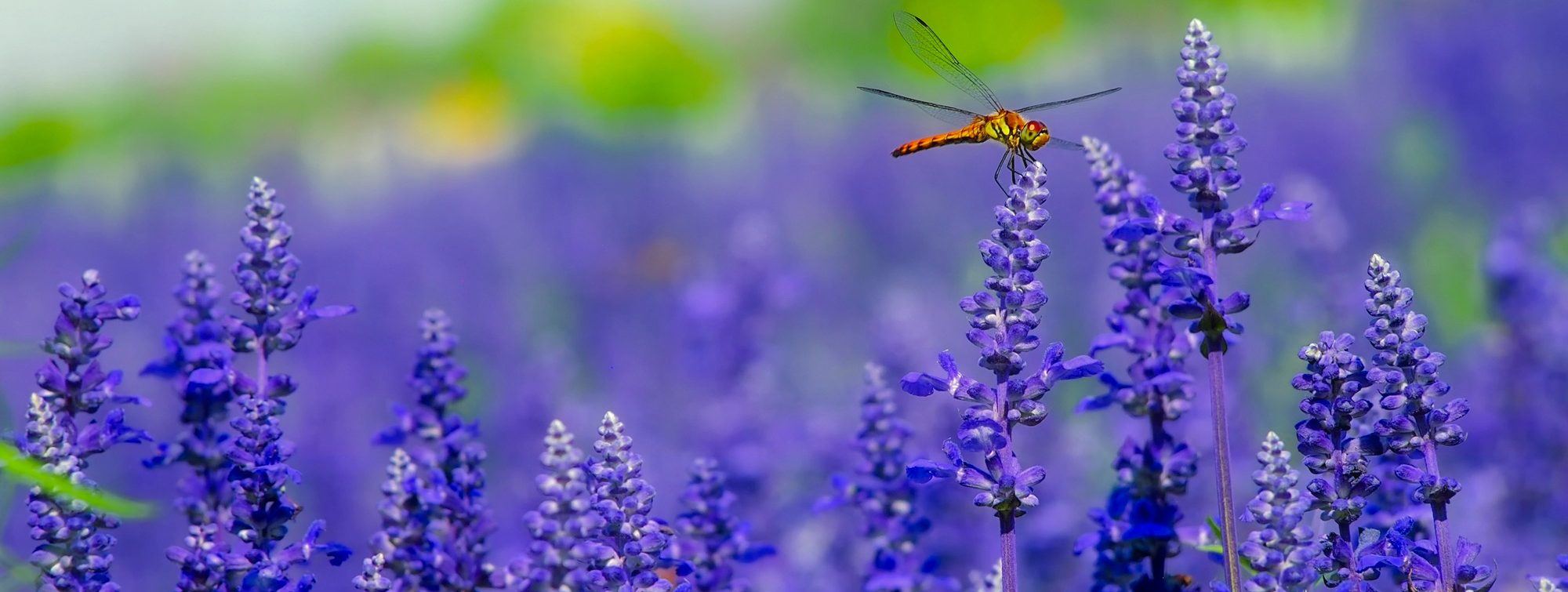 Dragonfly-Lavender-The-Beauty-of-Now-Become-The-Creator-of-your-life